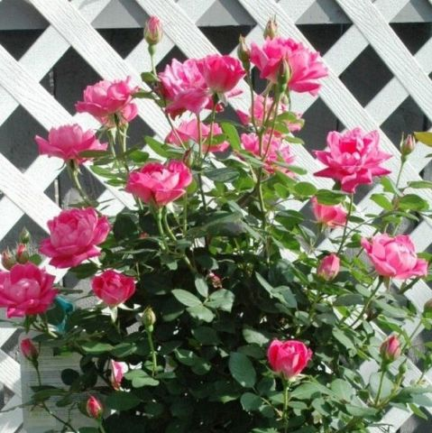 Pink Double Knock Out® Rose Tree