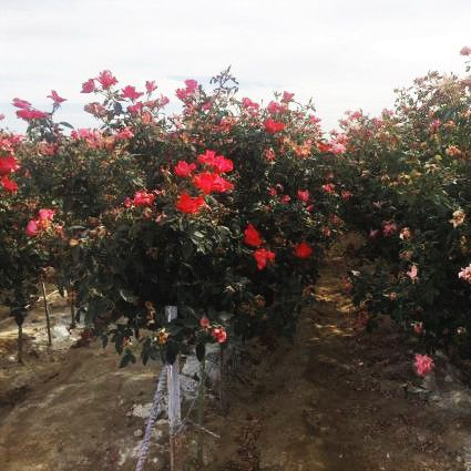 Red Knock Out® Rose Tree
