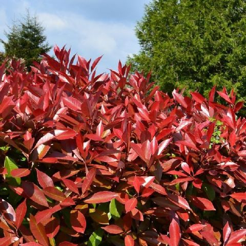 Red Tip Photinia