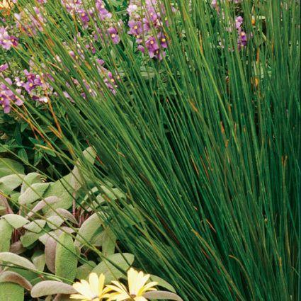 Soft Rush Grass