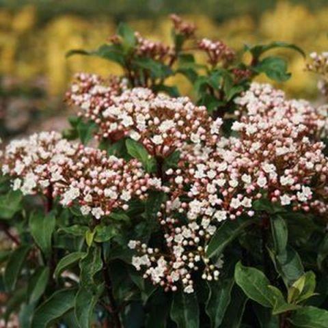 Spring Bouquet Laurustinus
