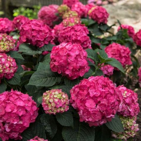 Endless Summer® Summer Crush® Hydrangea