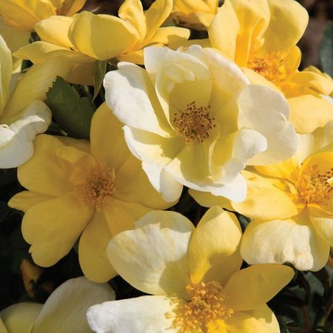 Sunny Knock Out® Rose Tree