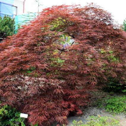 Tamukeyama Japanese Maple