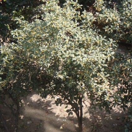 Fragrant Tea Olive