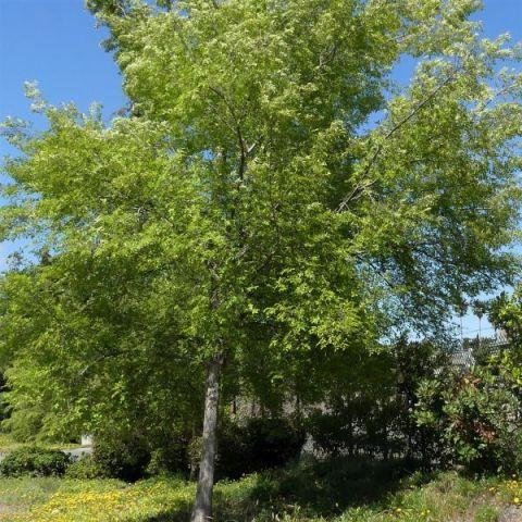 Bosque Elm